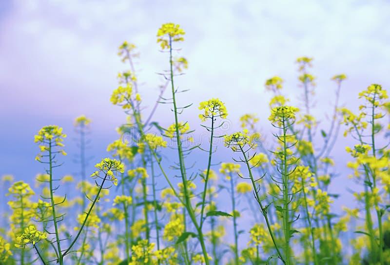 Trawy ` s torby pasterski ordynariusz, kwiatu tło, Capsélla búrsa-pastà ³ ris, trawy świrzepa obraz royalty free