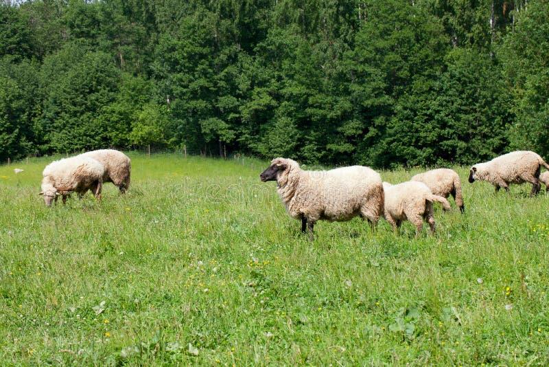 trawy stada cakli sheeps obrazy stock
