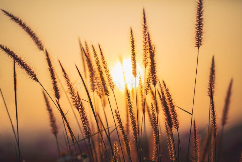 Trawy tło z słońce promieniem, Miękka ostrość abstrakta natura obraz royalty free