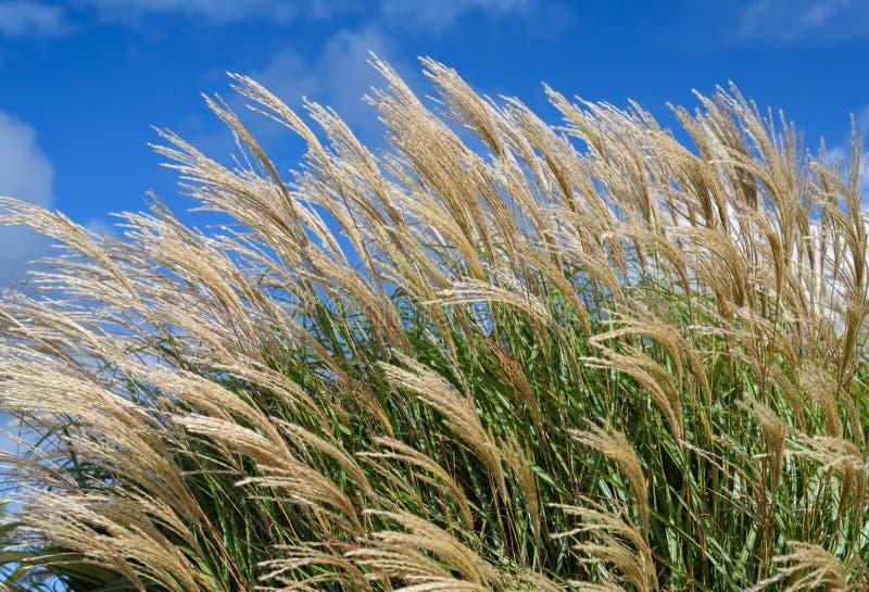 Trawy W wiatrze zdjęcia stock