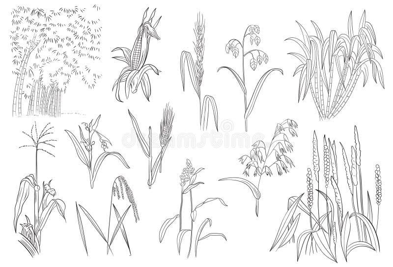 Trawy zboża Kukurydzana Ryżowa trzcina cukrowa Zasadza Wektorowego kontur ilustracja wektor