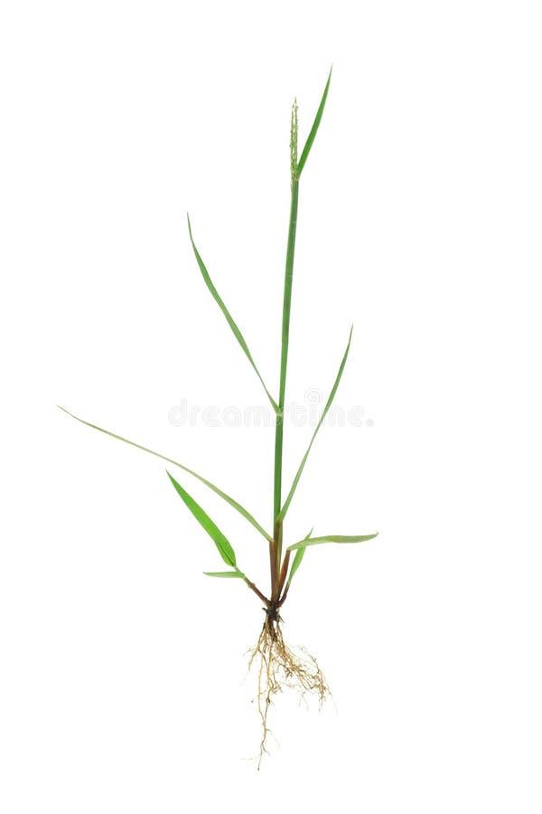trawy zieleni korzenie zdjęcia royalty free
