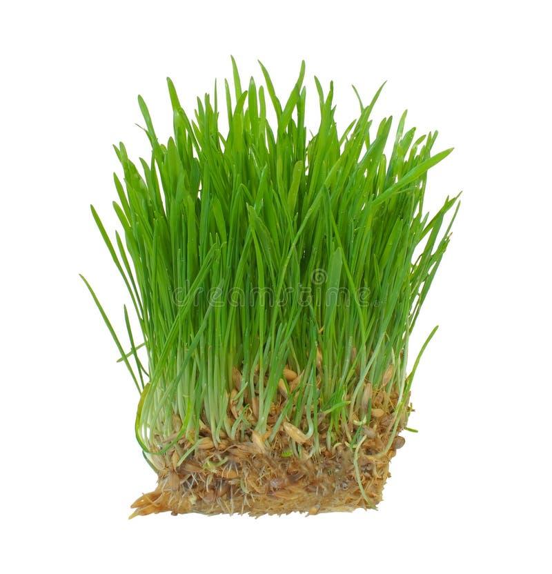 trawy zieleni odosobneni flanc biel potomstwa fotografia stock