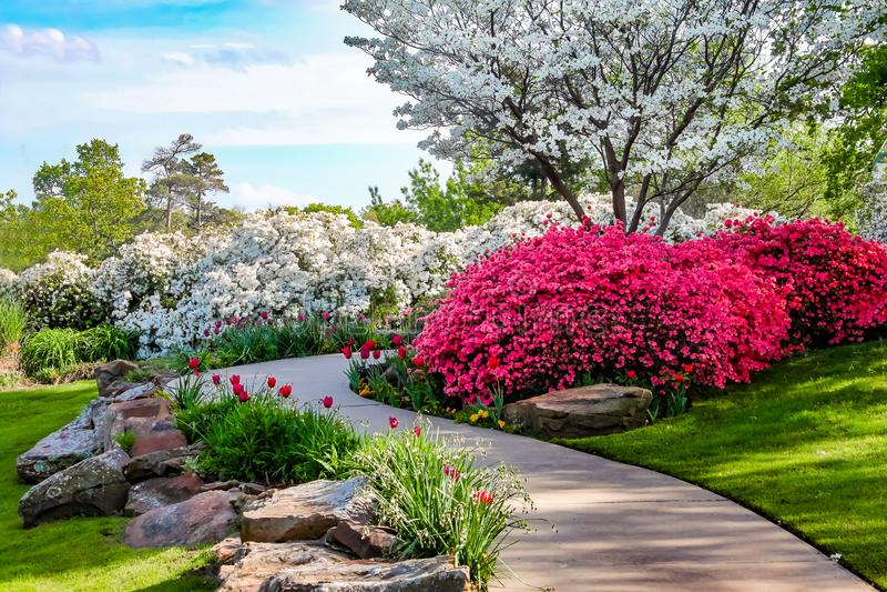 Trayectoria curvada a través de los bancos de Azeleas y debajo de árboles de cornejo con los tulipanes debajo de un cielo azul -  imagen de archivo libre de regalías