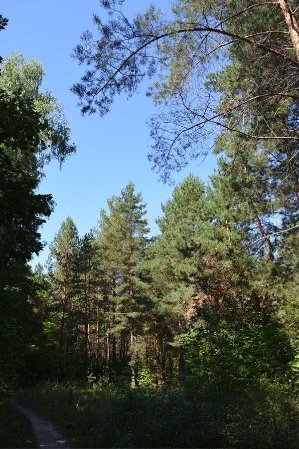Trayectoria de bosque conífera en arbolado con los árboles de pino altos Paisaje del VERANO imágenes de archivo libres de regalías
