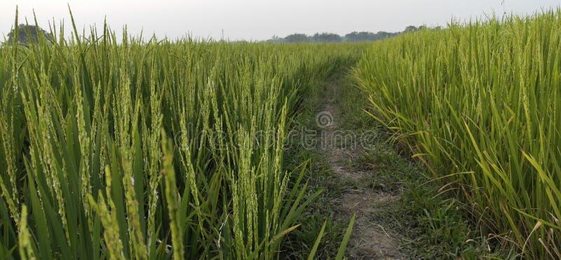 Trayectoria de Felid del arroz imagen de archivo