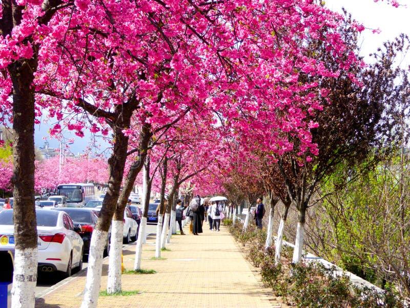 Trayectoria de las flores de cerezo de Dali University foto de archivo libre de regalías