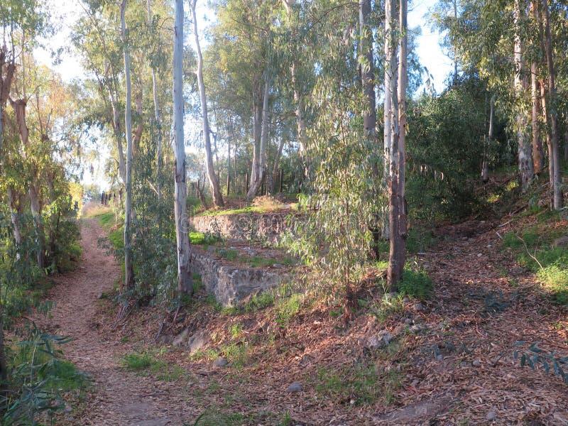 Trayectoria del país a través de árboles de eucalipto fotos de archivo