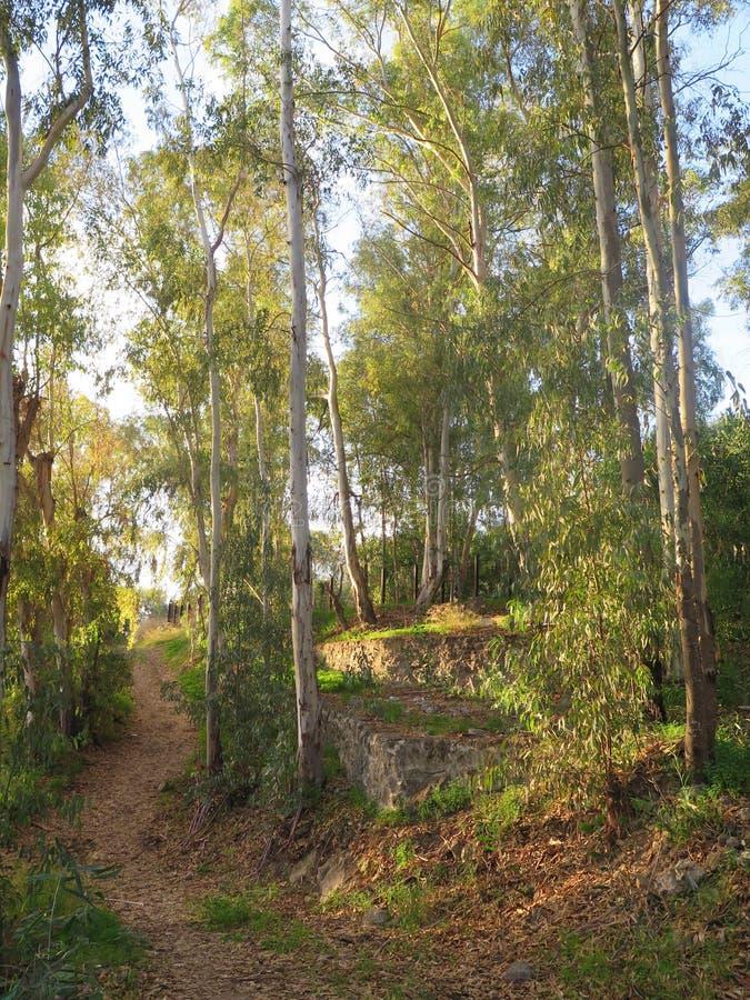 Trayectoria del país a través de árboles de eucalipto fotografía de archivo libre de regalías