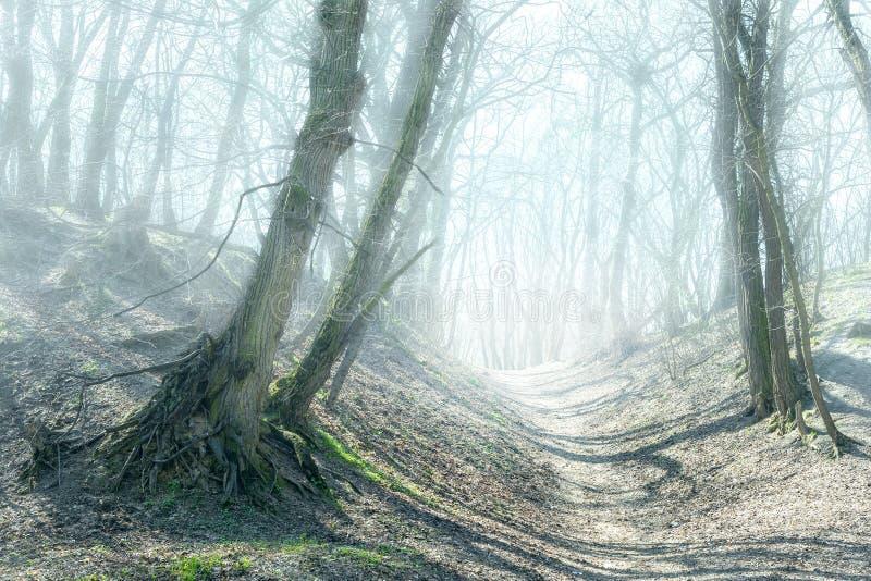 Trayectoria en Forest Hills de niebla misterioso Camino a través de árboles torcidos viejos en bosque asustadizo de la niebla den fotos de archivo