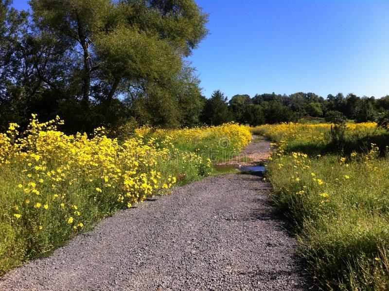 Trayectoria entre las flores amarillas imagen de archivo libre de regalías