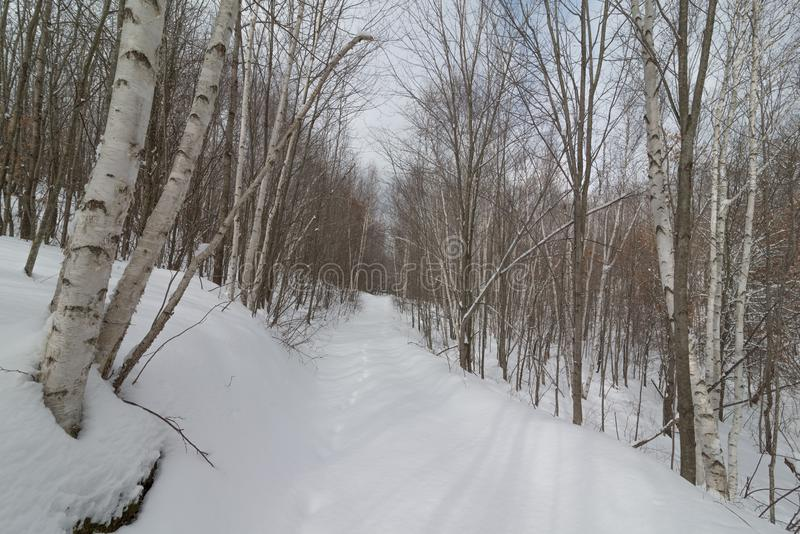 Trayectoria hivernal del pie del bosque de la naturaleza Nevado a través del bosque del abedul - esquí del campo a través, camina imagen de archivo