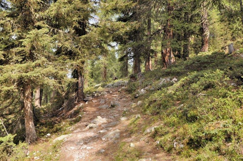Trayectoria que cruza un bosque de alerces en las montañas europeas imagenes de archivo