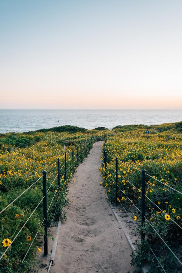Trayectoria y flores amarillas en la puesta del sol, en Dana Point Headlands Conservation Area, en Dana Point, Condado de Orange, foto de archivo libre de regalías