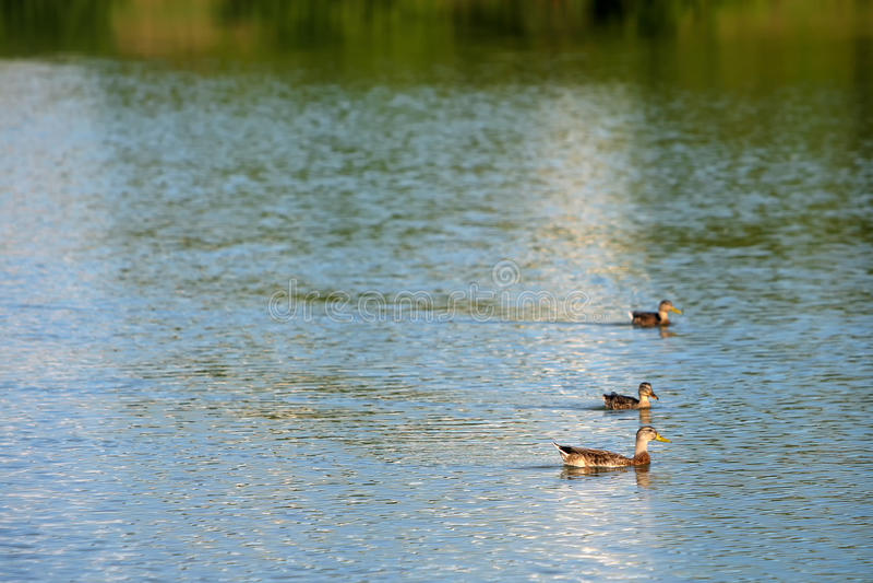 Tre änder i sjön arkivfoto