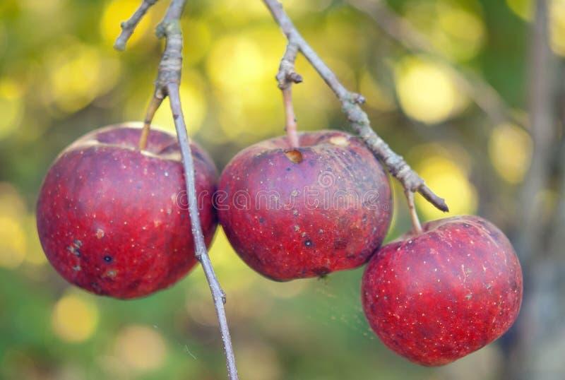 Download Tre äpplen arkivfoto. Bild av hälsa, fall, färg, hand - 27275334