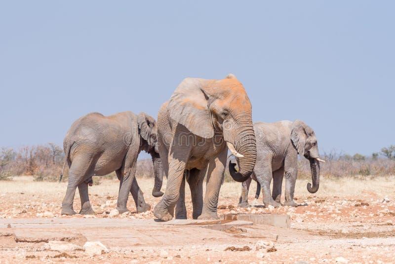 Tre afrikanska elefanter på den Rateldraf waterholen fotografering för bildbyråer