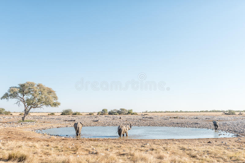 Tre afrikanska elefanter på en waterhole i nordliga Namibia royaltyfria bilder