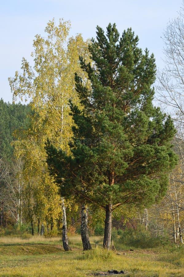 Tre alberi Tre amiche Foresta di autunno wildlife fotografia stock