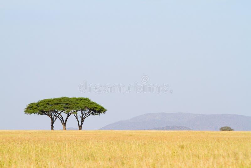 Tre alberi dell'acacia immagine stock
