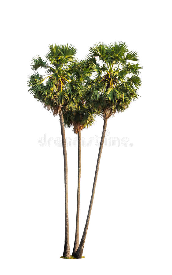 Tre alberi di borassus flabellifer fotografia stock
