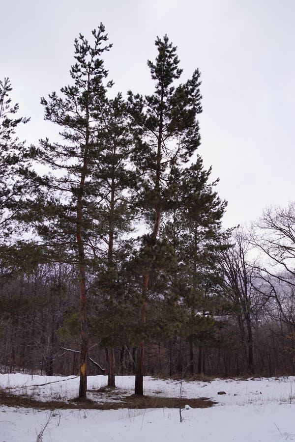 Tre alberi tre sorelle tre sorelle in Oak Grove immagini stock libere da diritti