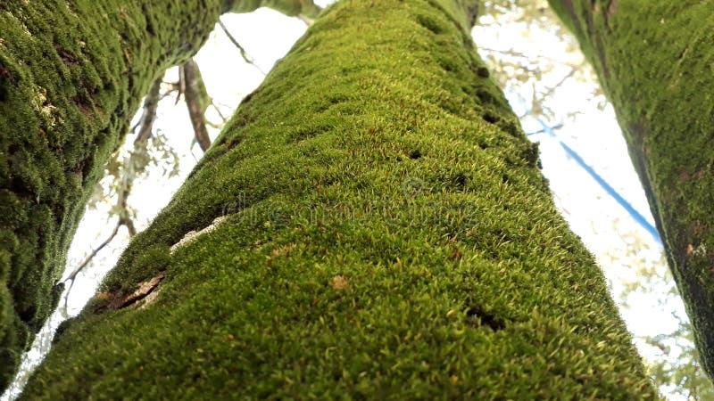 Tre alberi verdi coperti da limo immagine stock