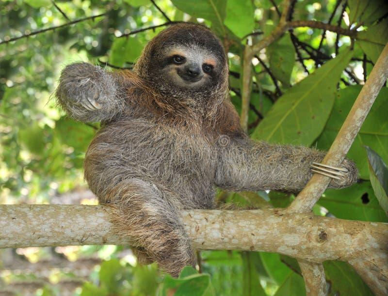 Tre allegri piantano il bradipo di traverso che si siede nell'albero, Costa Rica immagini stock libere da diritti