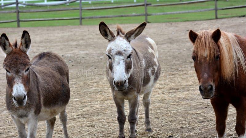 Tre amighi Un cavallo e 2 asini fissano intento al fotografo fotografia stock libera da diritti