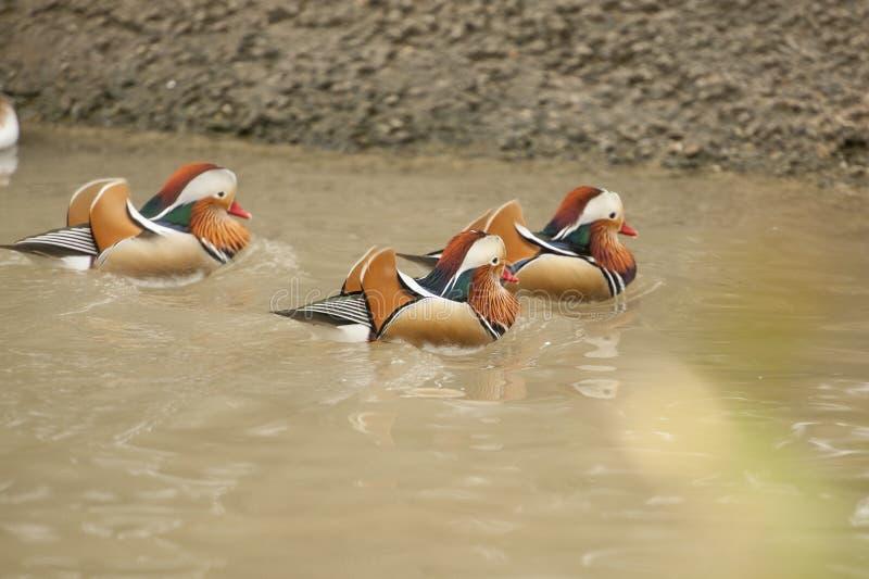 Tre anatre di mandarino, maschi stanno nuotando in acqua fotografia stock libera da diritti