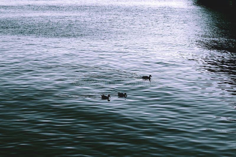 Tre anatre in fiume Emozioni tristi immagini stock
