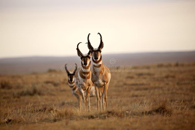 Tre antilopi di Pronghorn maschii fotografia stock
