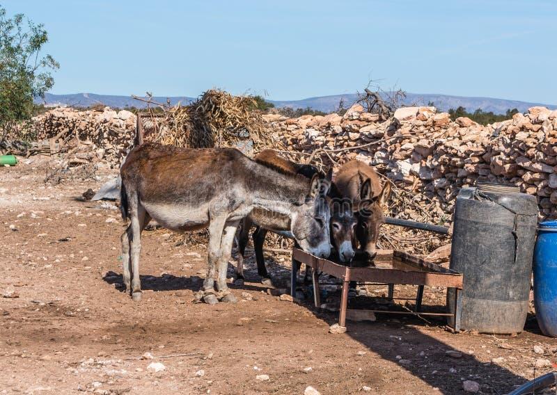 Tre asini beventi dell'azienda agricola nel Marocco immagine stock