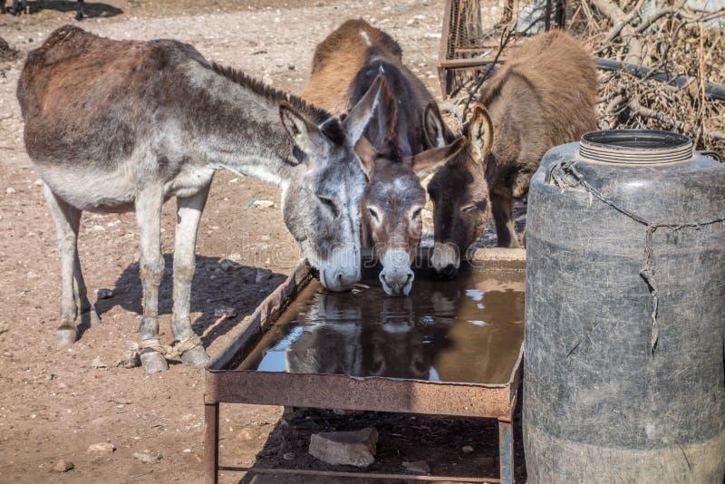 Tre asini beventi nel Marocco immagini stock