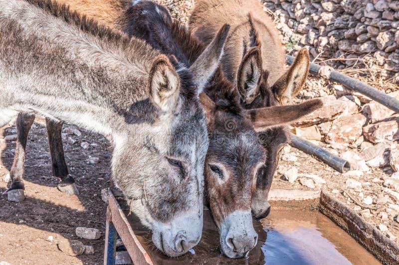 Tre asini beventi nel Marocco fotografie stock libere da diritti