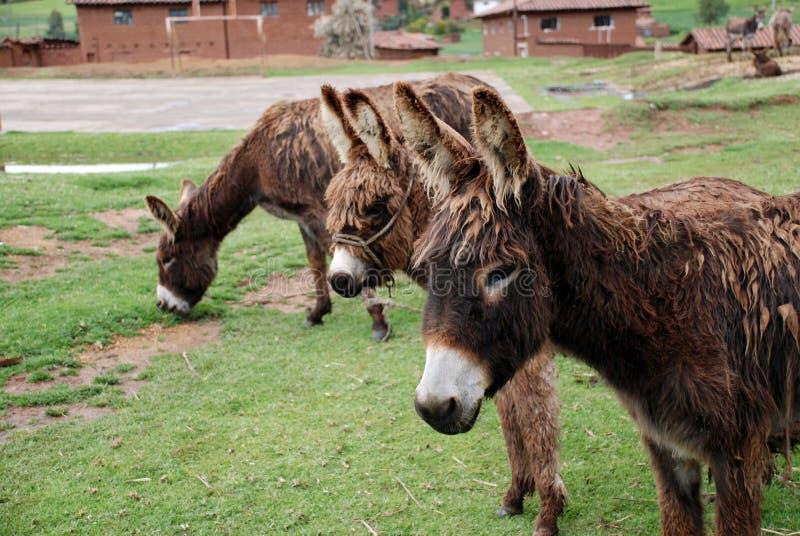 Tre asini che stanno in un campo immagine stock libera da diritti