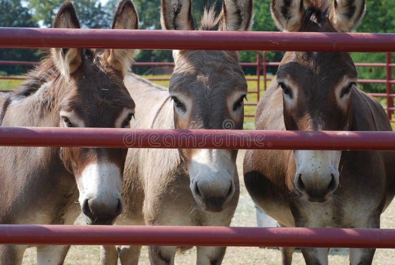 Tre asini dietro un portone immagine stock libera da diritti