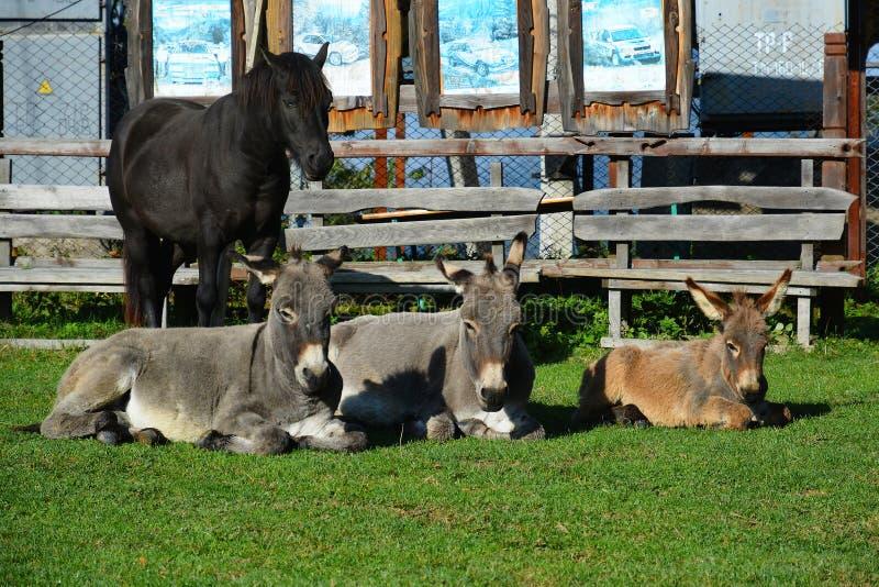 Tre asini e cavalli stanno prendendo il sole al sole fotografia stock libera da diritti