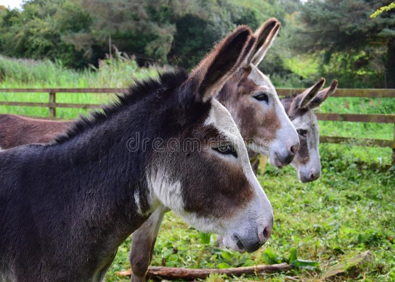 Tre asini in Irlanda immagine stock libera da diritti