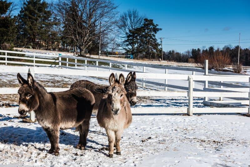 Tre asini miniatura - upstate New York immagine stock libera da diritti