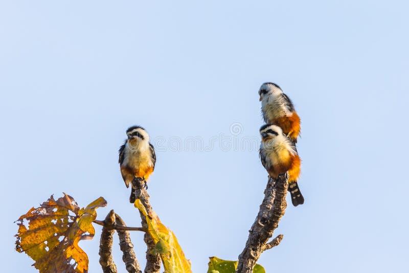 Tre av försåg med krage Falconet arkivbilder