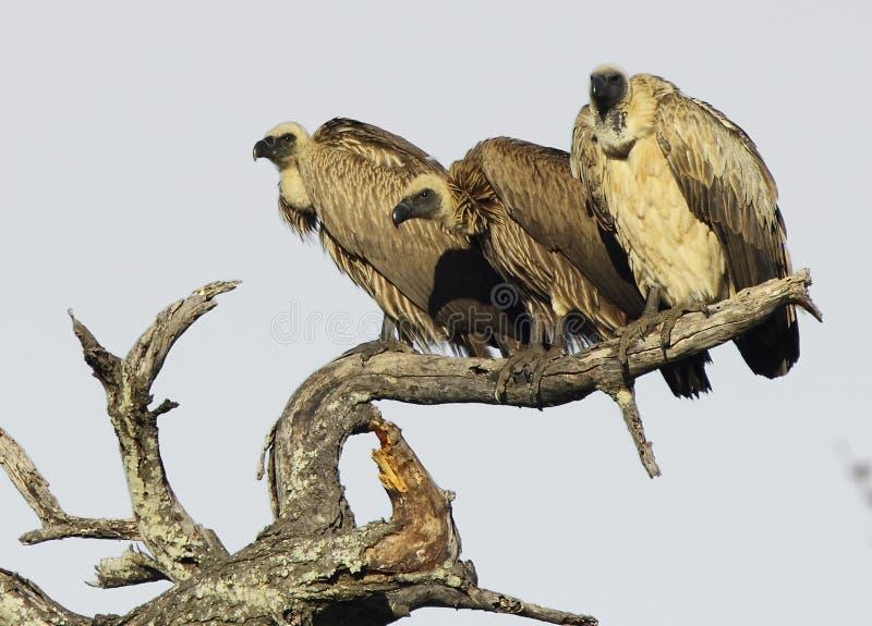 Tre avvoltoi su un albero immagini stock libere da diritti