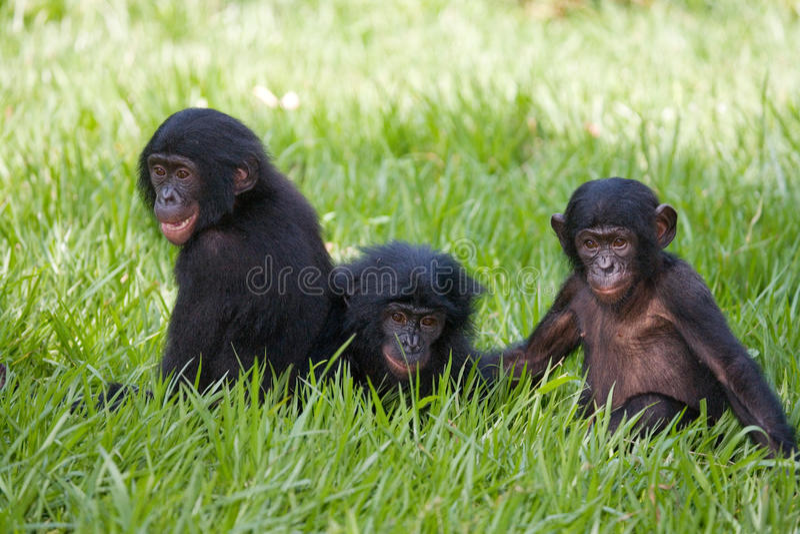 Tre behandla som ett barn bonoboslek med de congo demokratisk republik Lola Ya BONOBOnationalpark royaltyfri fotografi
