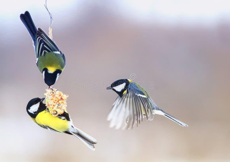 Tre bei piccoli capezzoli affamati dell'uccello hanno volato su una mangiatoia d'attaccatura fotografia stock