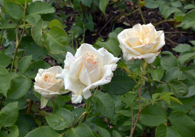 Tre belle delicatamente rose crema su un'aiola fotografie stock