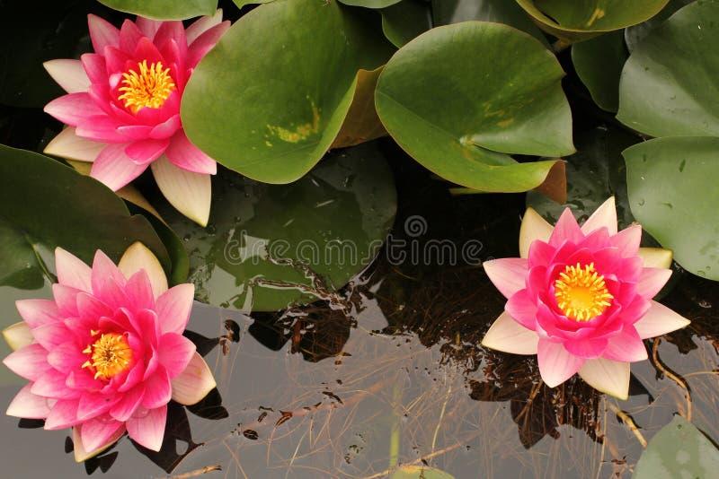 Tre belle ninfee rosa che fioriscono nell'acqua immagine stock