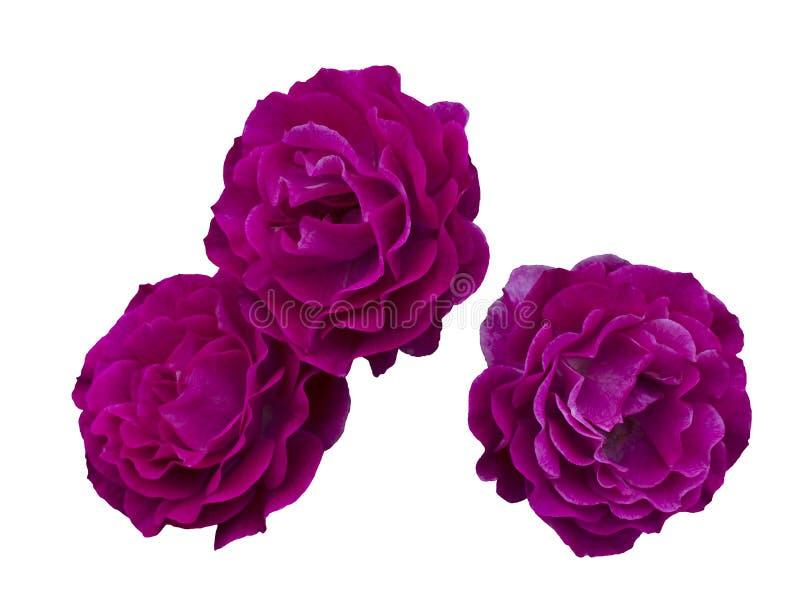 Tre belle rose rosa immagini stock libere da diritti