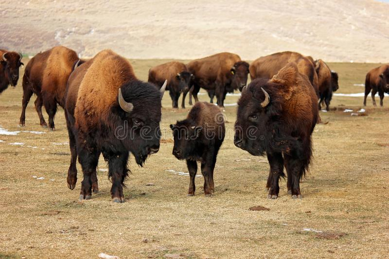 Tre bisonte o bufalo che protegge i loro giovani fotografia stock libera da diritti