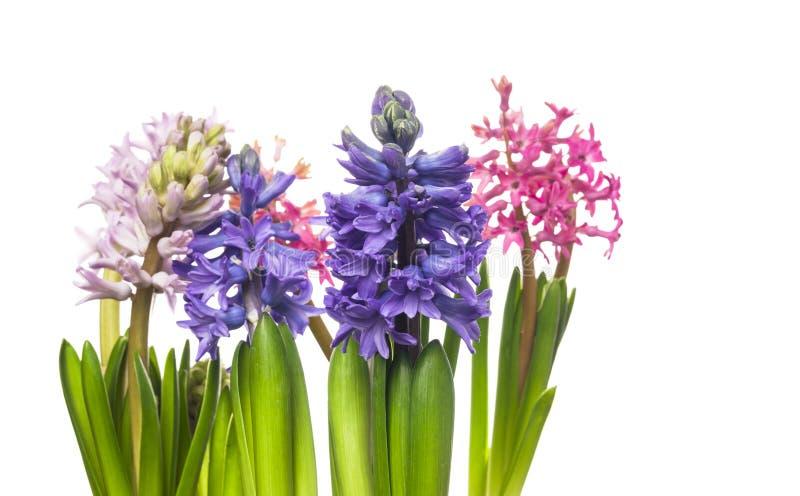 Tre blomma hyacintblommor som isoleras royaltyfria foton