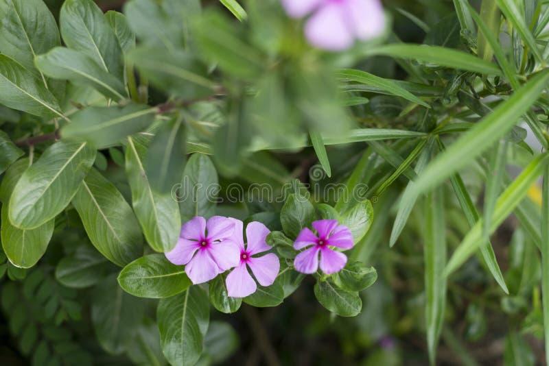 Tre blommor färgar den violetta makroen med kronblad royaltyfria foton